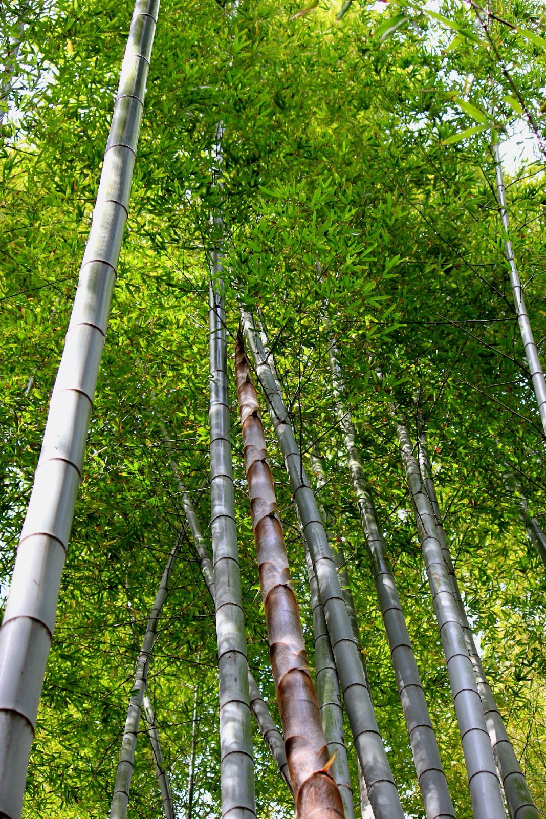2014/05/12 今年竹 (散歩道:神奈川県横須賀市)