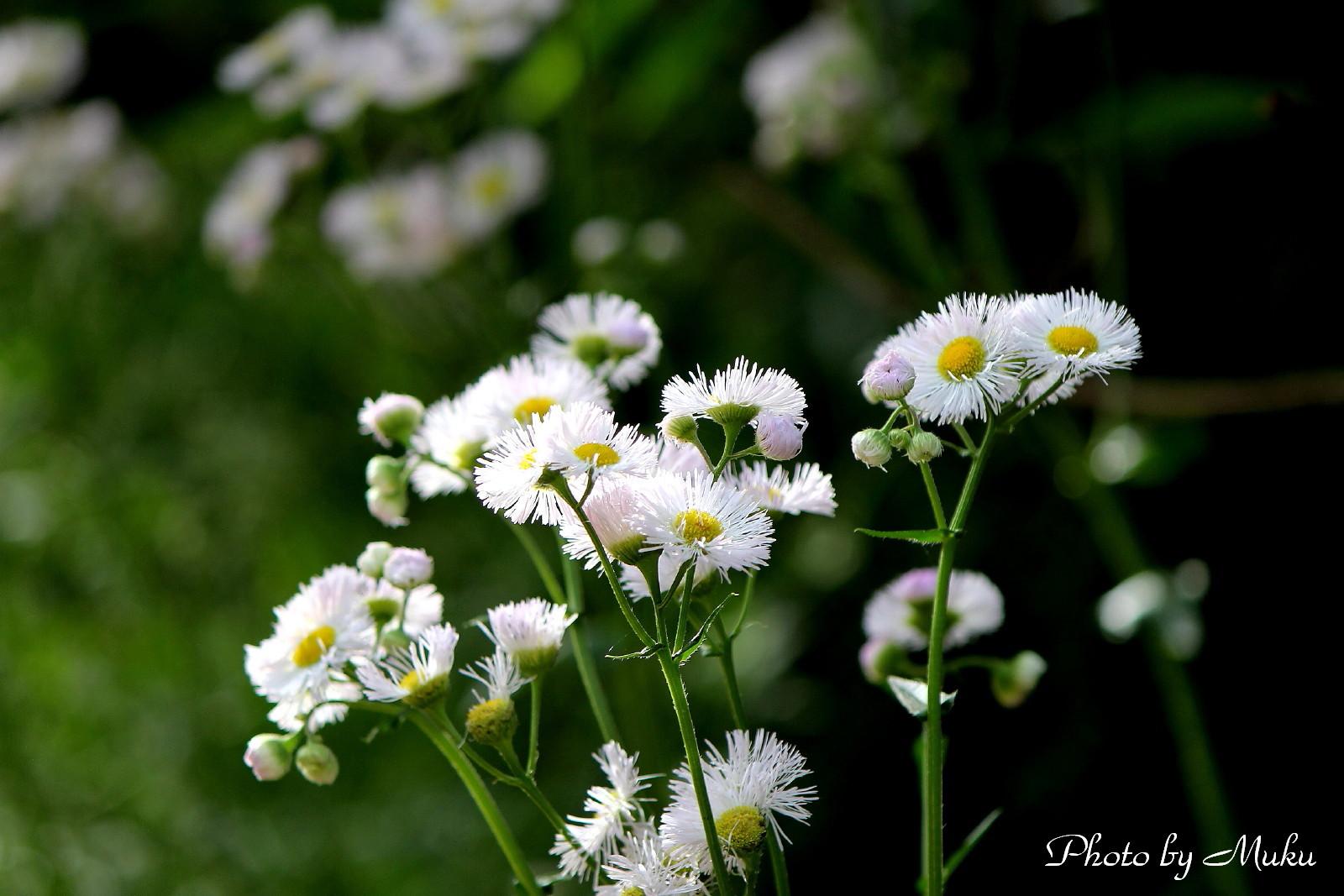2014/05/12 春紫苑 (散歩道:神奈川県横須賀市)