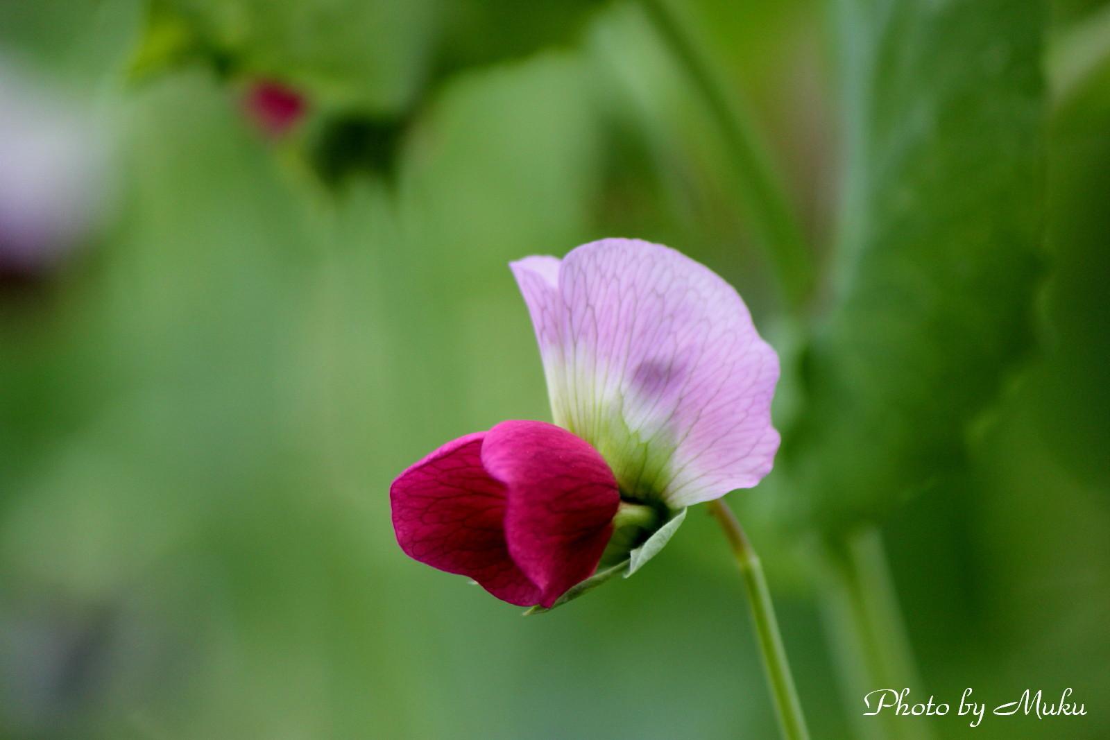 2014/05/12 豌豆の花 (散歩道:神奈川県横須賀市)