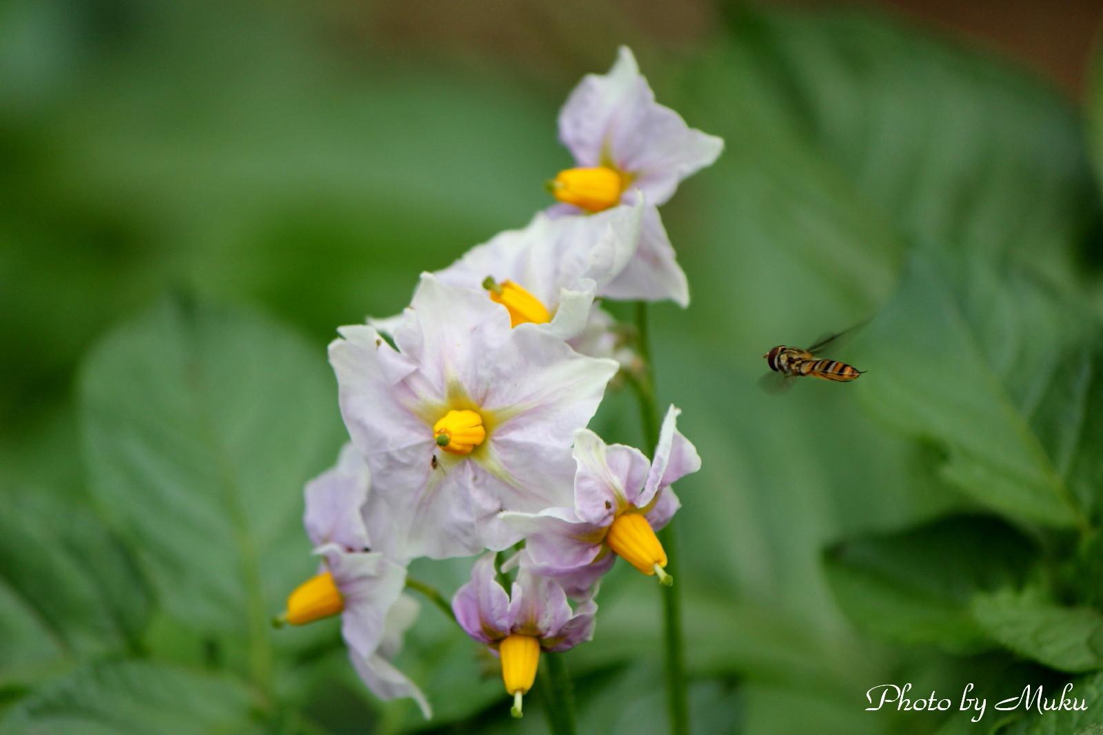 2014/05/12 馬鈴薯の花 (散歩道:神奈川県横須賀市)