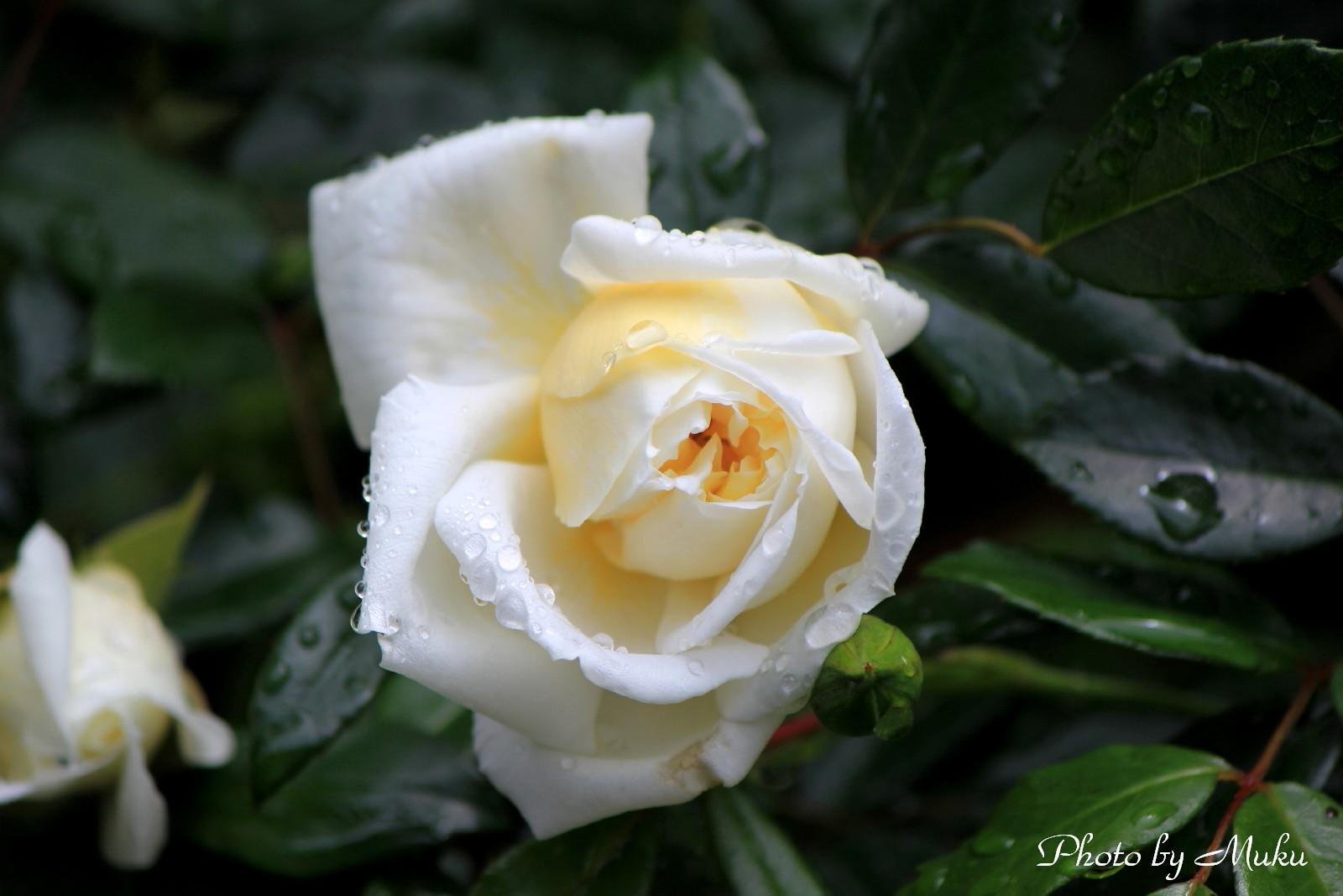 2014/05/15 薔薇 (散歩道:神奈川県横須賀市)