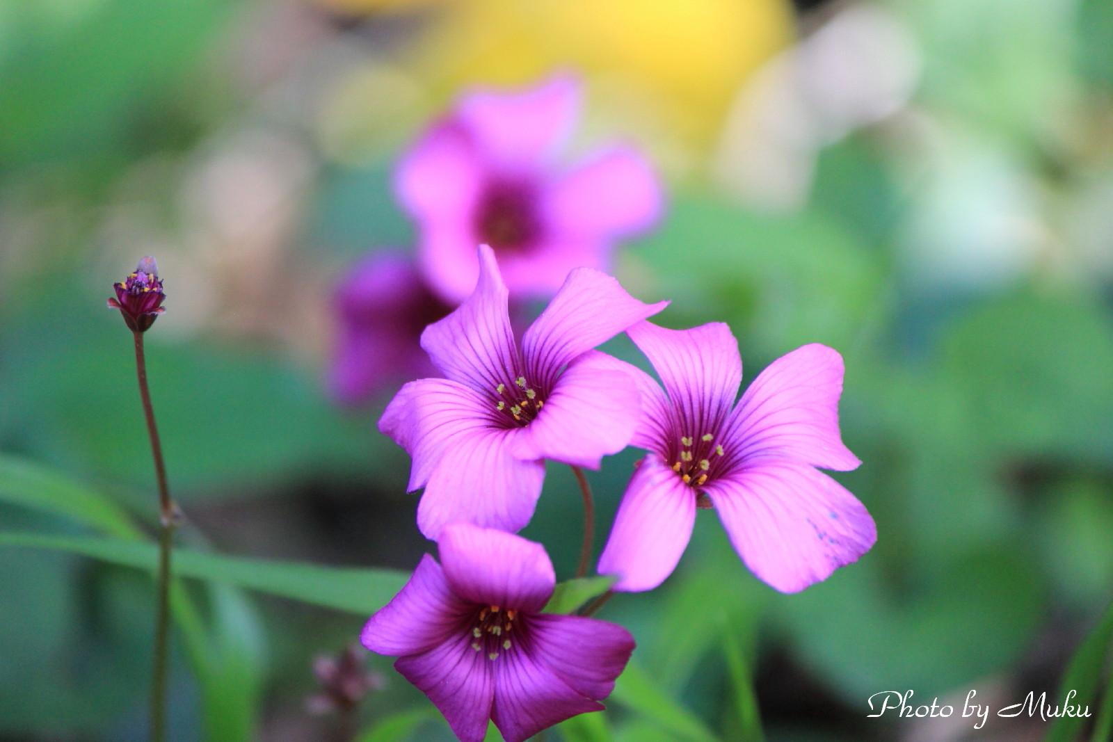 2014/05/17 紫片喰(菜園:神奈川県横須賀市)