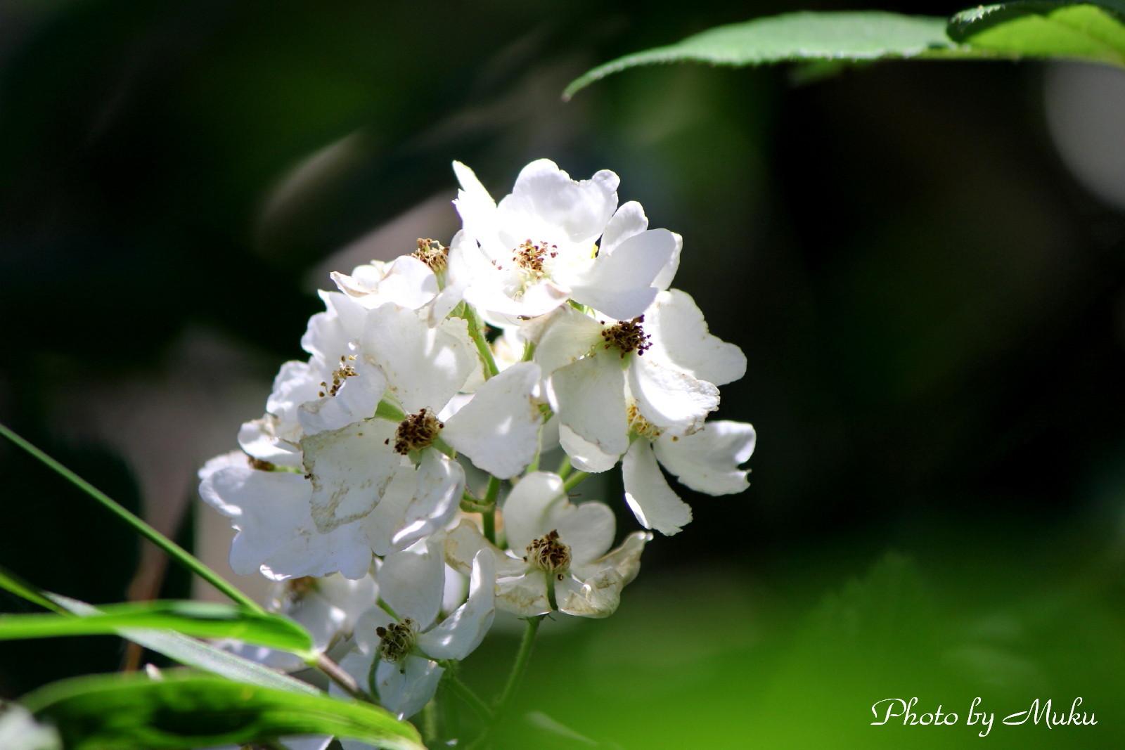 2014/05/18 野いばら(観音崎:神奈川県横須賀市)
