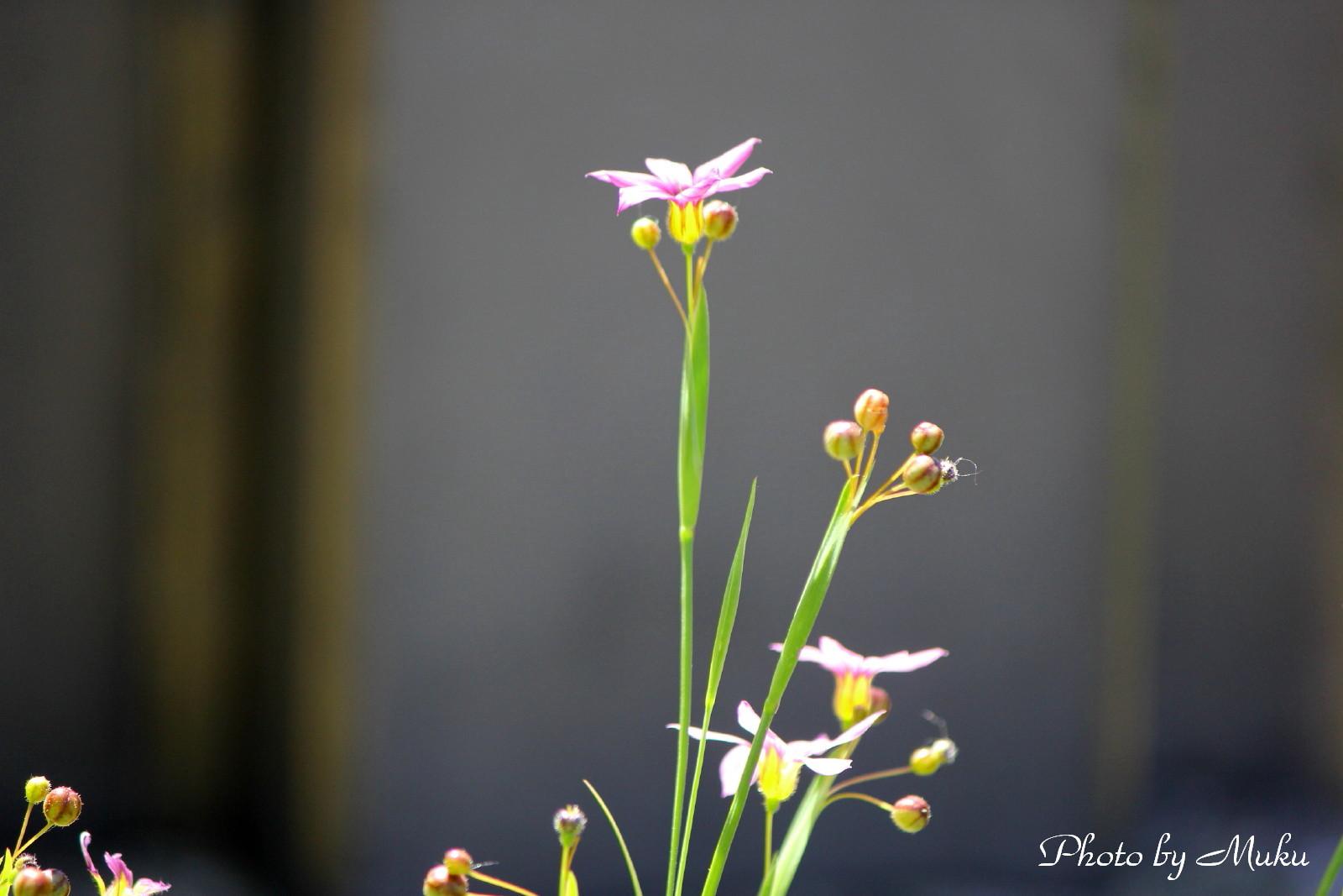 2014/05/18 庭石菖(観音崎:神奈川県横須賀市)