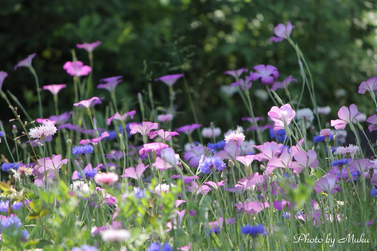 2014/05/18 矢車草と麦なでしこ(観音崎公園:神奈川県横須賀市)