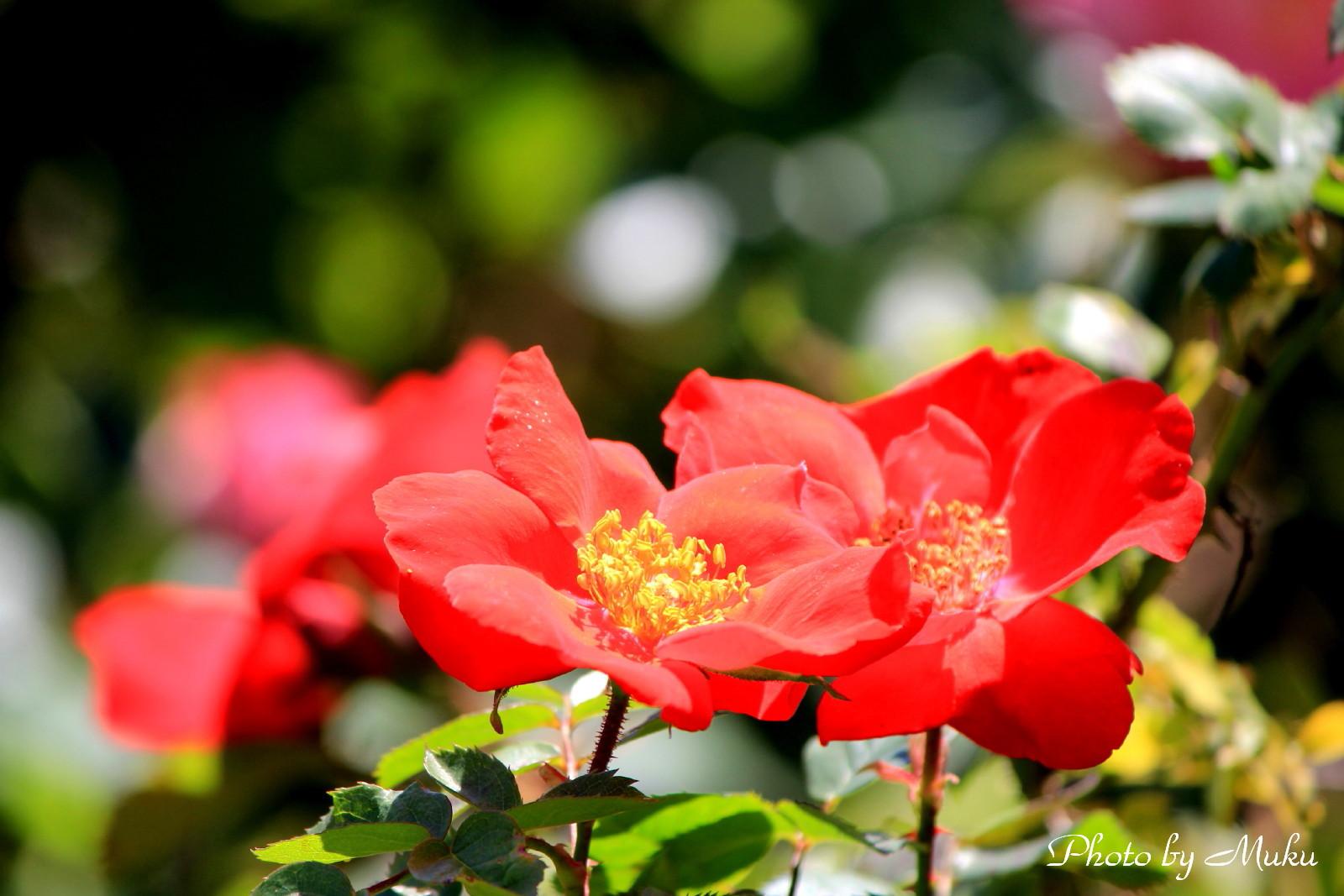 2014/05/18 薔薇(観音崎公園:神奈川県横須賀市)