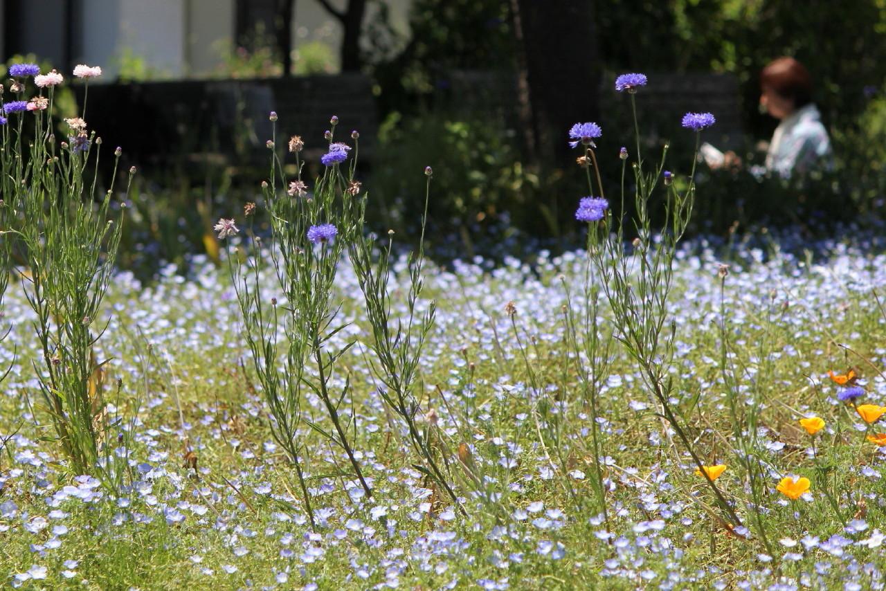 2014/05/18 ネモフィラと矢車草(観音崎公園:神奈川県横須賀市)