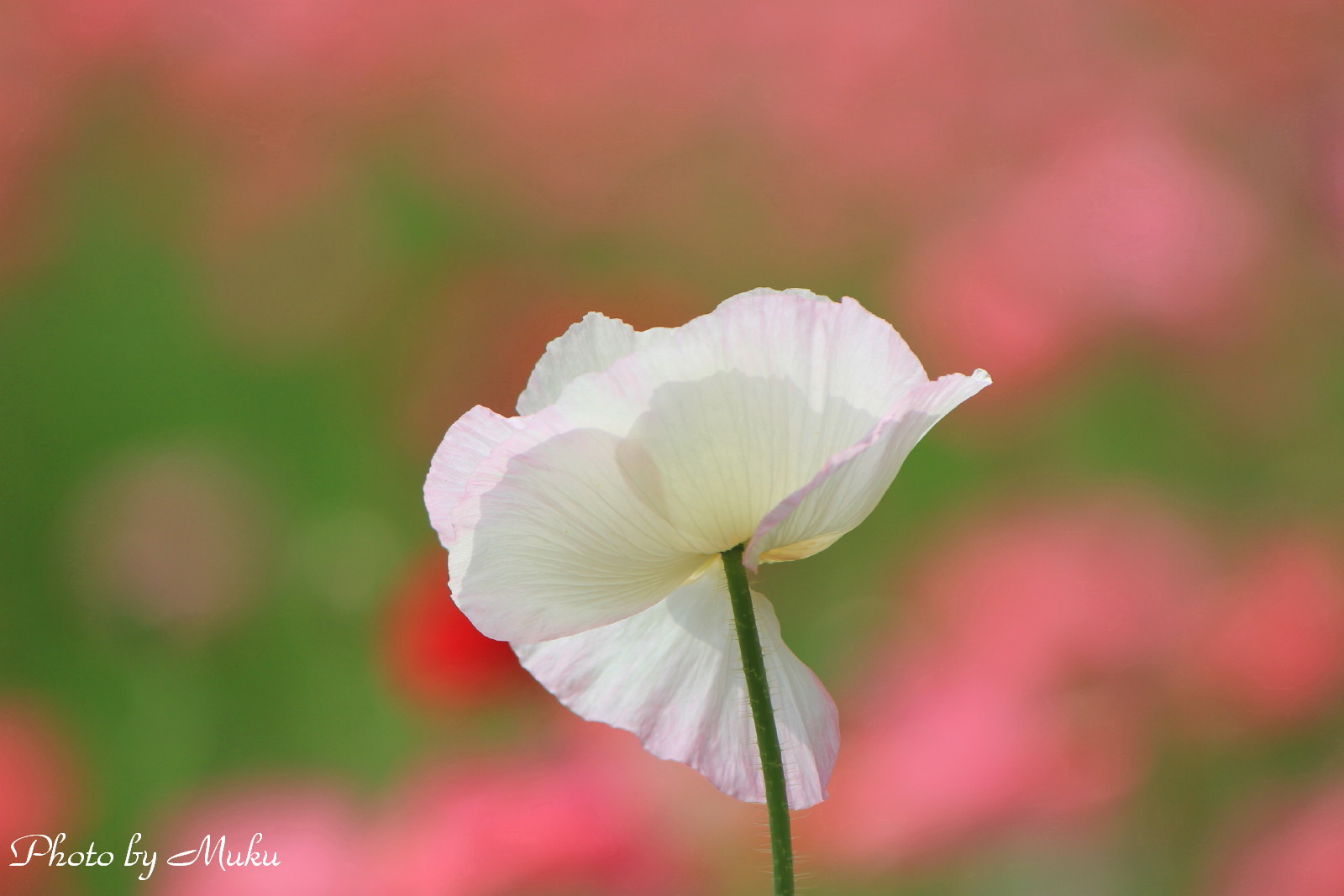 2014/05/25 ポピー(くりはま花の国:神奈川県横須賀市)