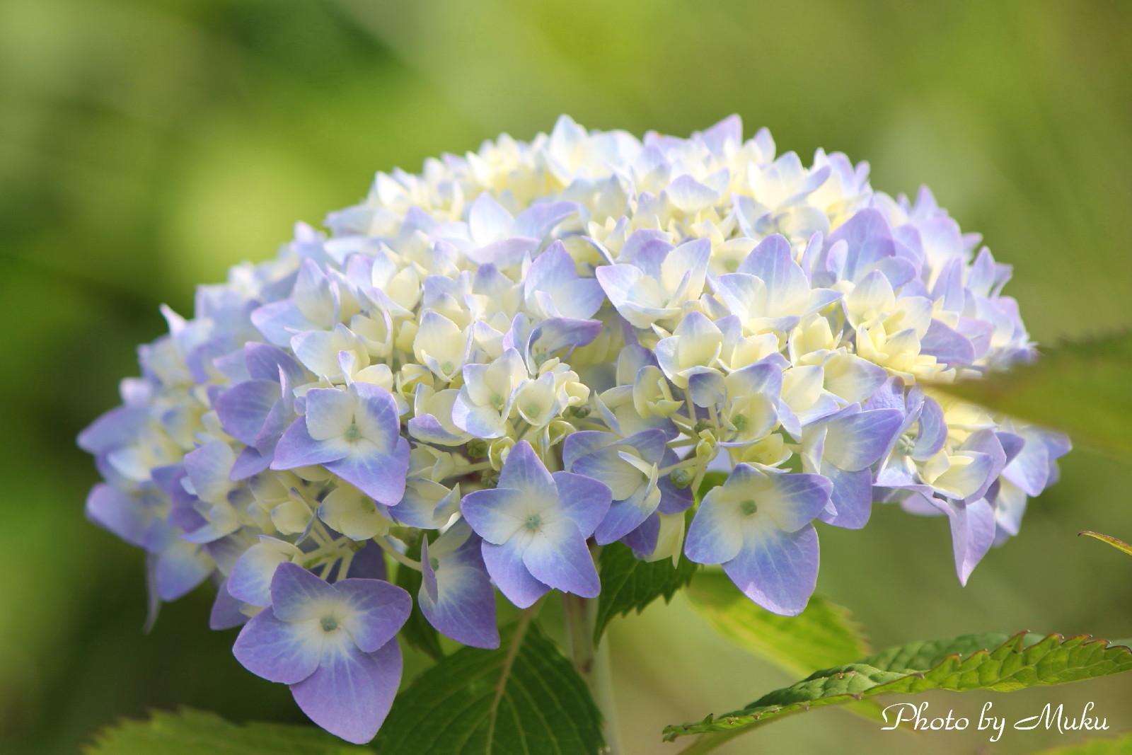 2014/05/25 薄あじさい(くりはま花の国:神奈川県横須賀市)