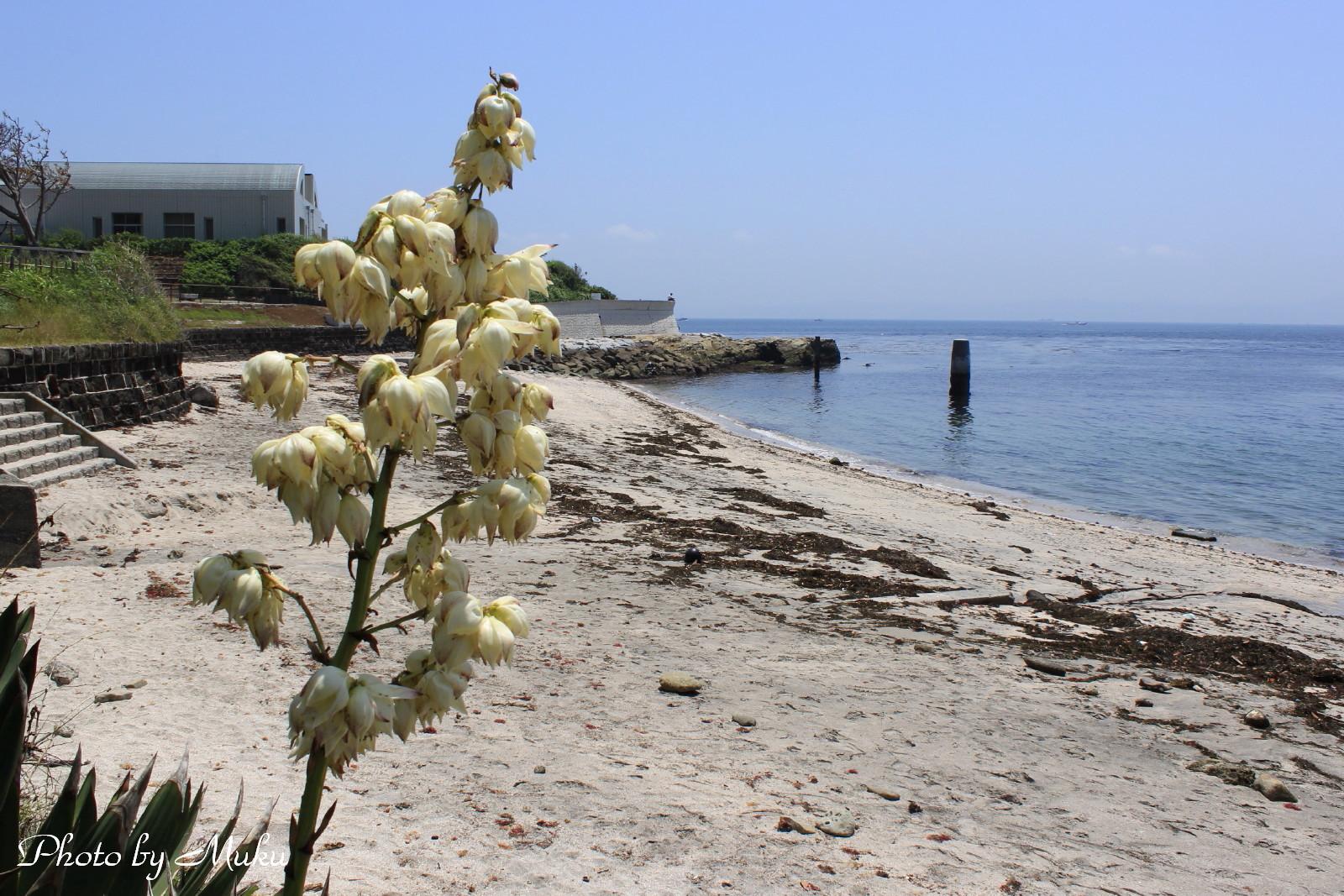 2014/05/29 ユッカの花 (たたら浜:神奈川県横須賀市)