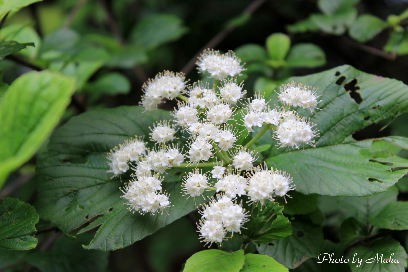 2014/05/29  ガマズミの花 (観音崎:神奈川県横須賀市)