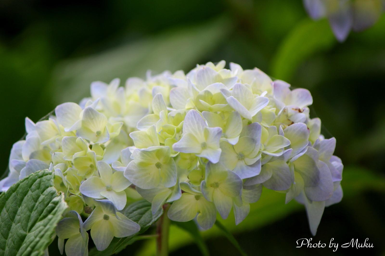 2014/05/29  あじさい (観音崎公園:神奈川県横須賀市)