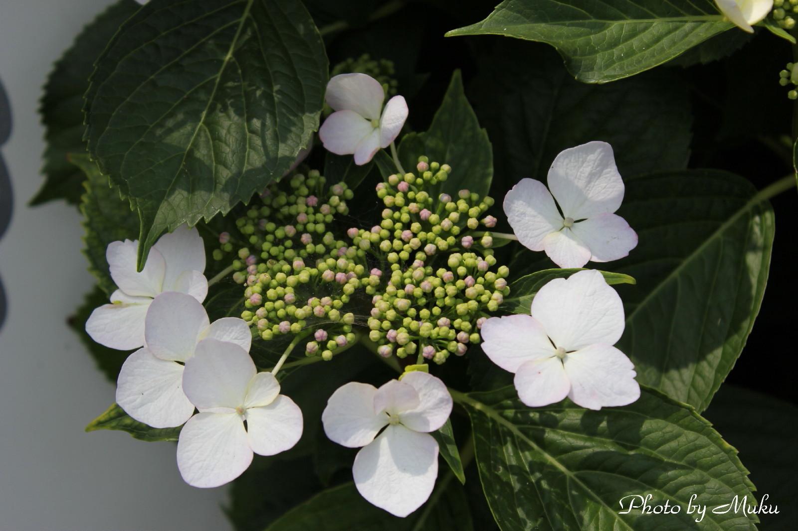 2014/06/03  額あじさい (観音崎:神奈川県横須賀市)
