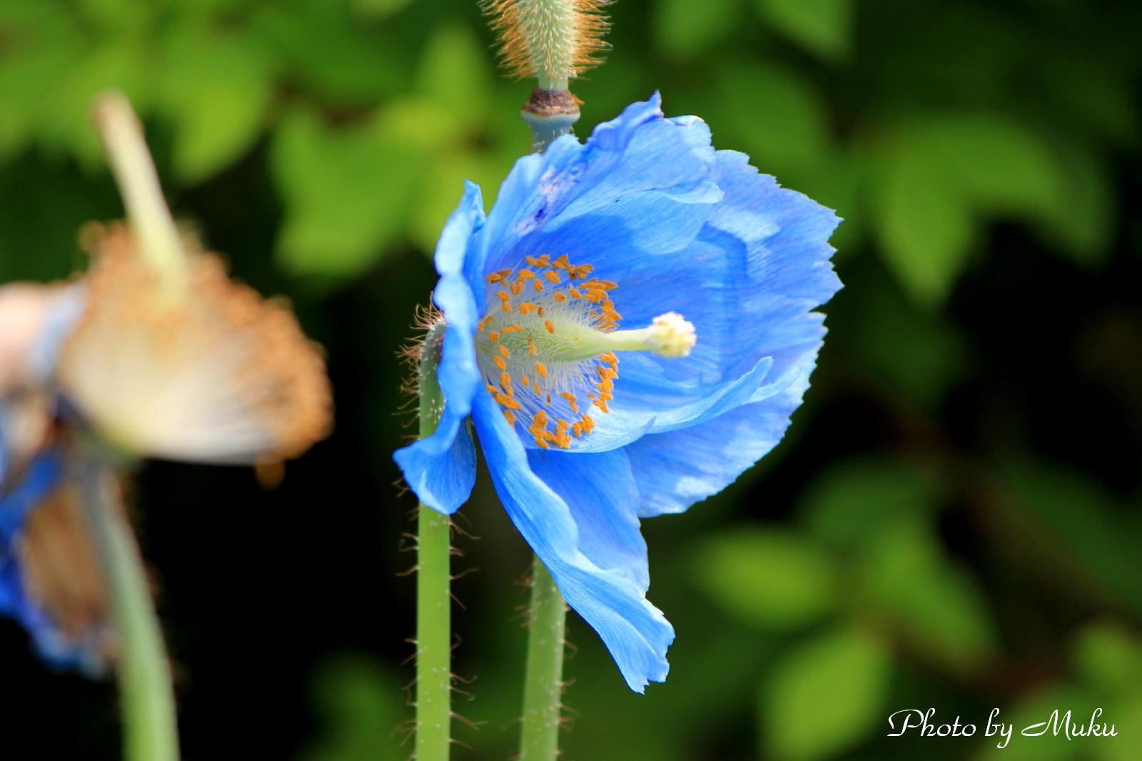 2014/06/04  ヒマラヤの青い芥子 (箱根湿生花園:神奈川県横足柄下郡箱根町)