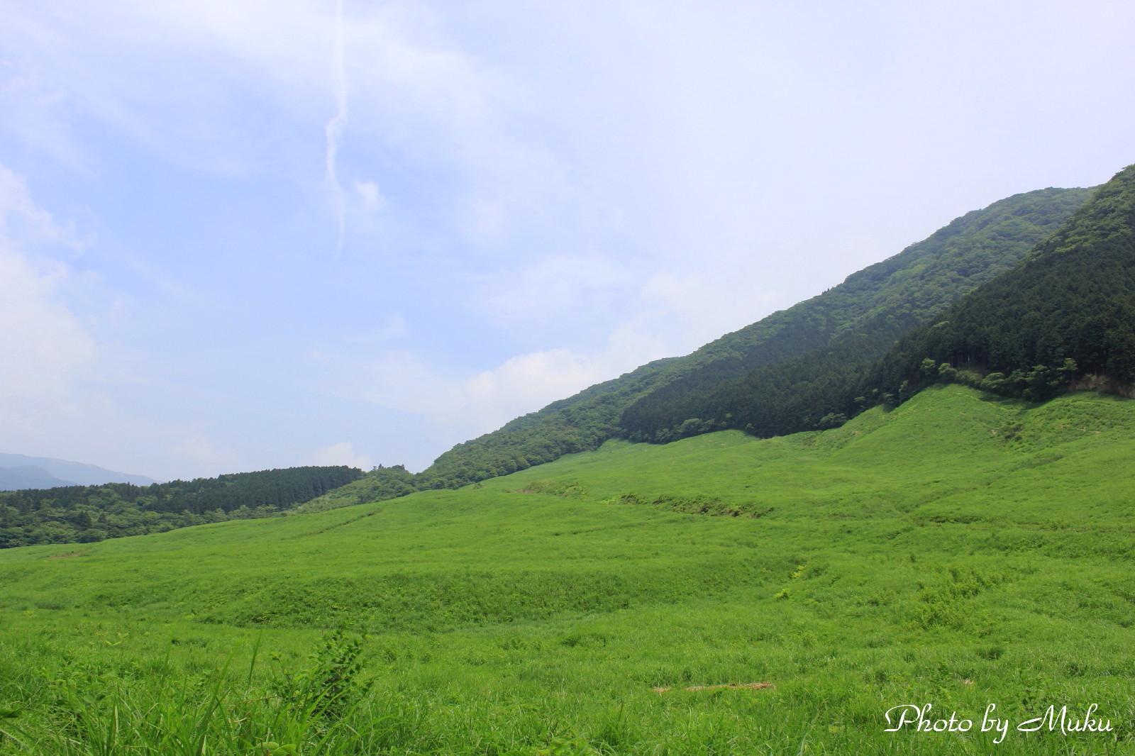 2014/06/04  青芒 (仙石原:神奈川県横足柄下郡箱根町)