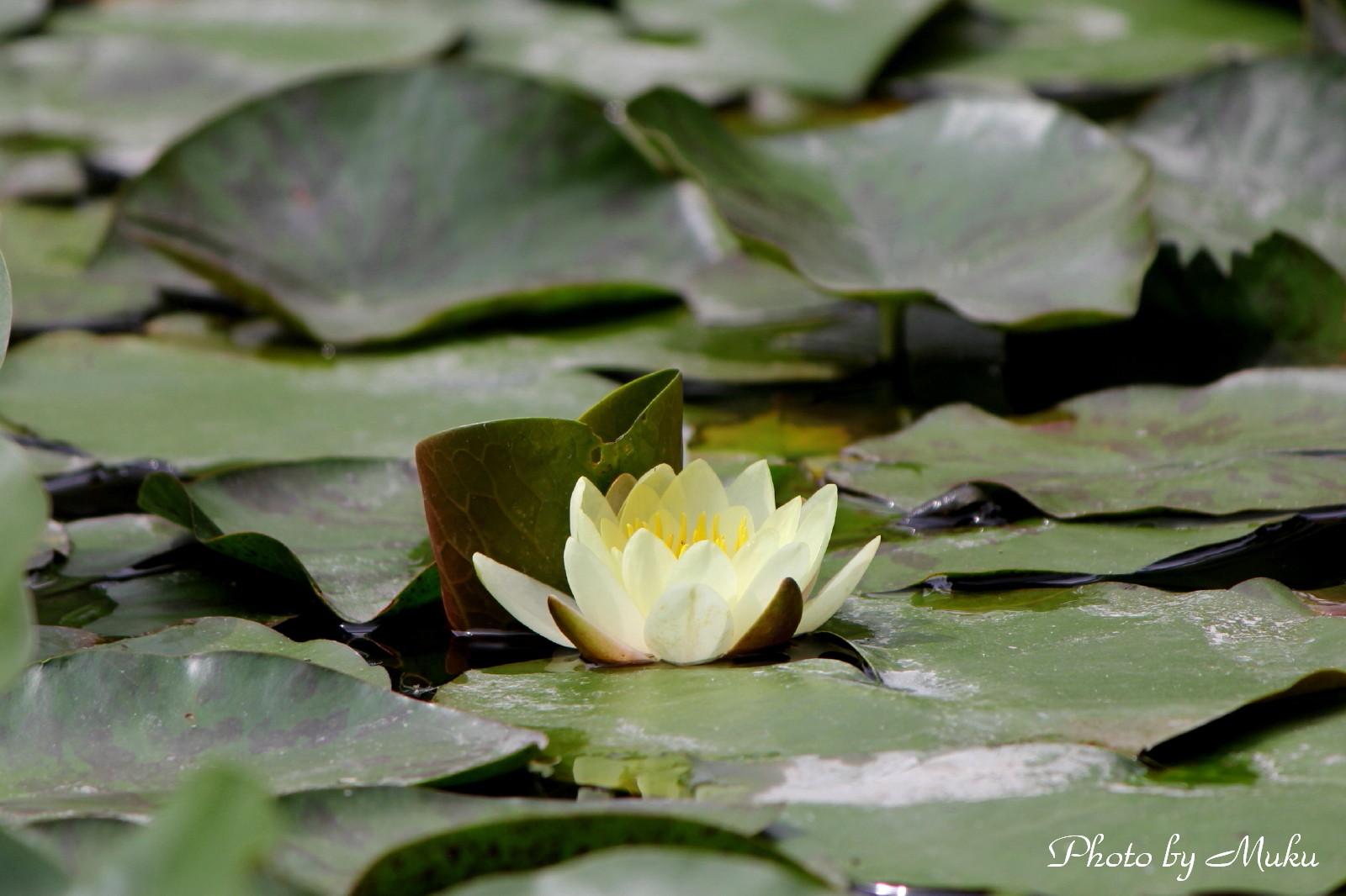 2014/06/04 睡蓮 (箱根湿生花園:神奈川県横足柄下郡箱根町)