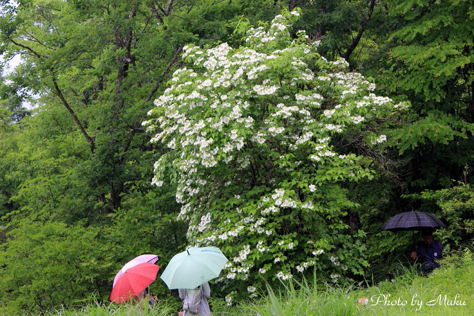 2014/06/05 カンボクの花 (箱根湿生花園:神奈川県横足柄下郡箱根町)