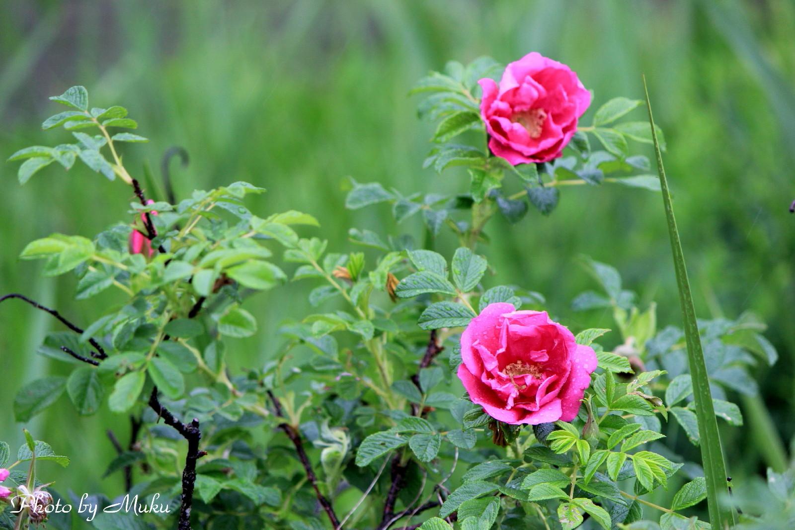 2014/06/05 はまなすの花 (箱根湿生花園:神奈川県横足柄下郡箱根町)