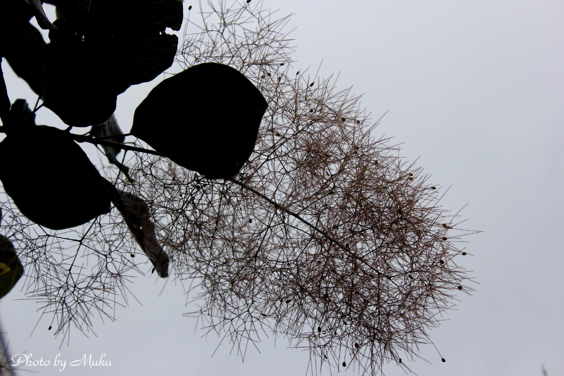 2014/06/12 煙の木の花 (散歩道:神奈川県横須賀市)