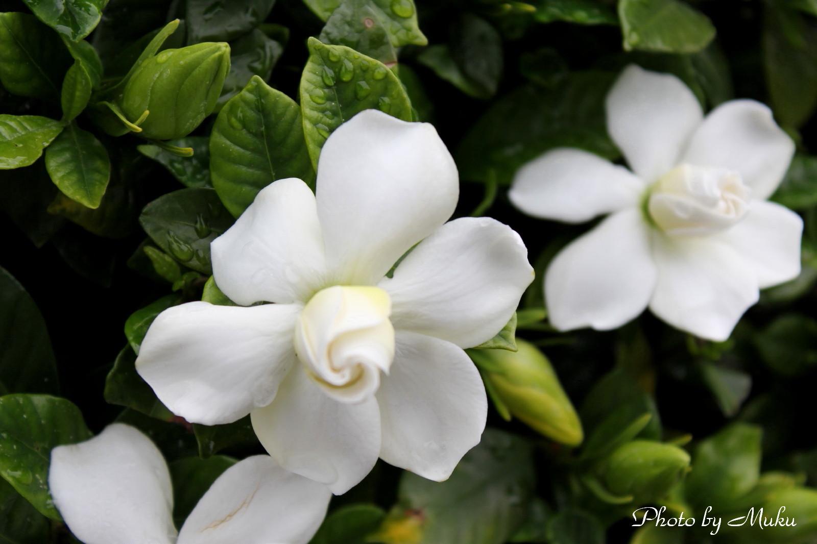 2014/06/12 くちなしの花 (散歩道:神奈川県横須賀市)