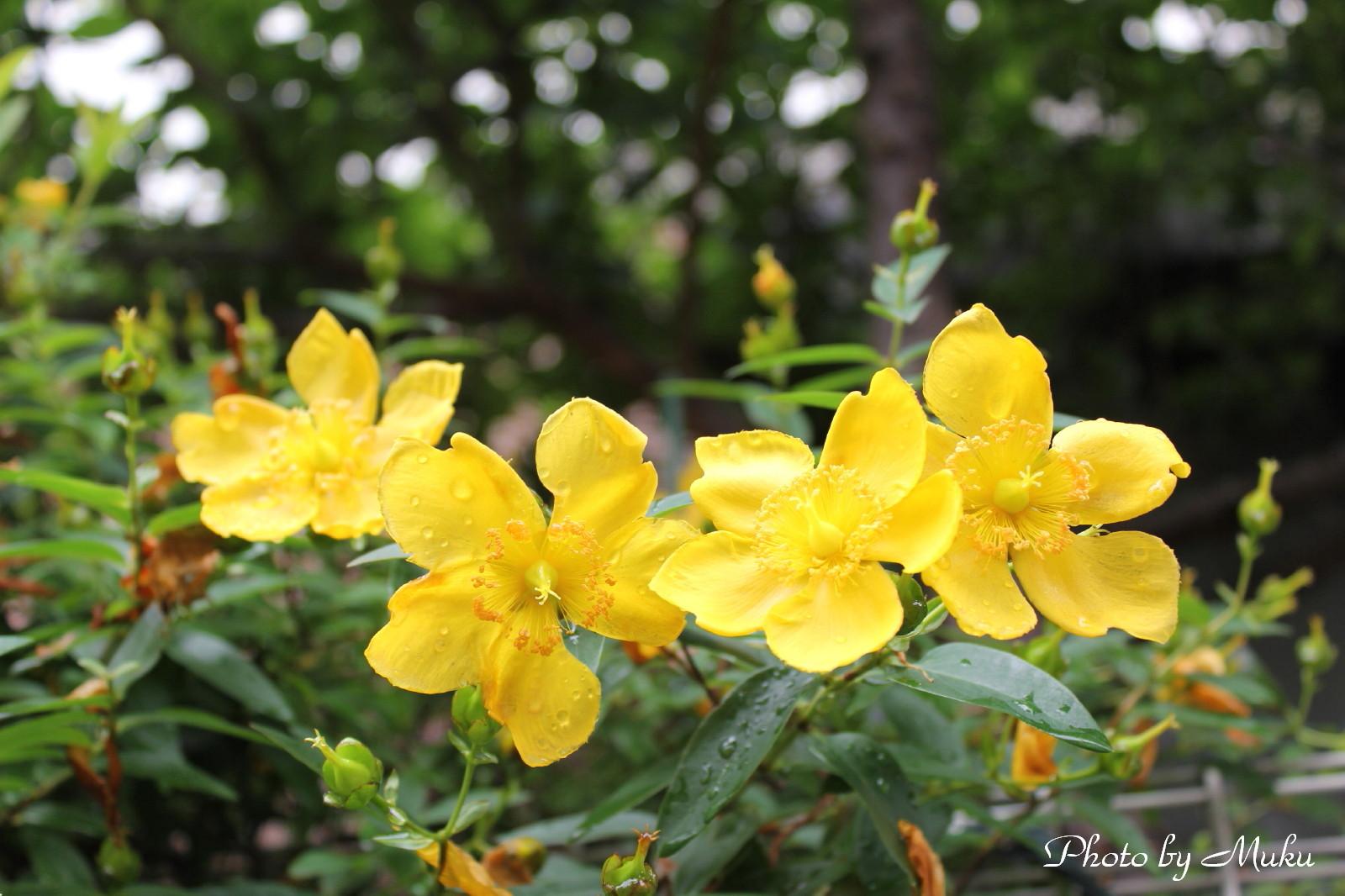 2014/06/12 金糸梅 (散歩道:神奈川県横須賀市)