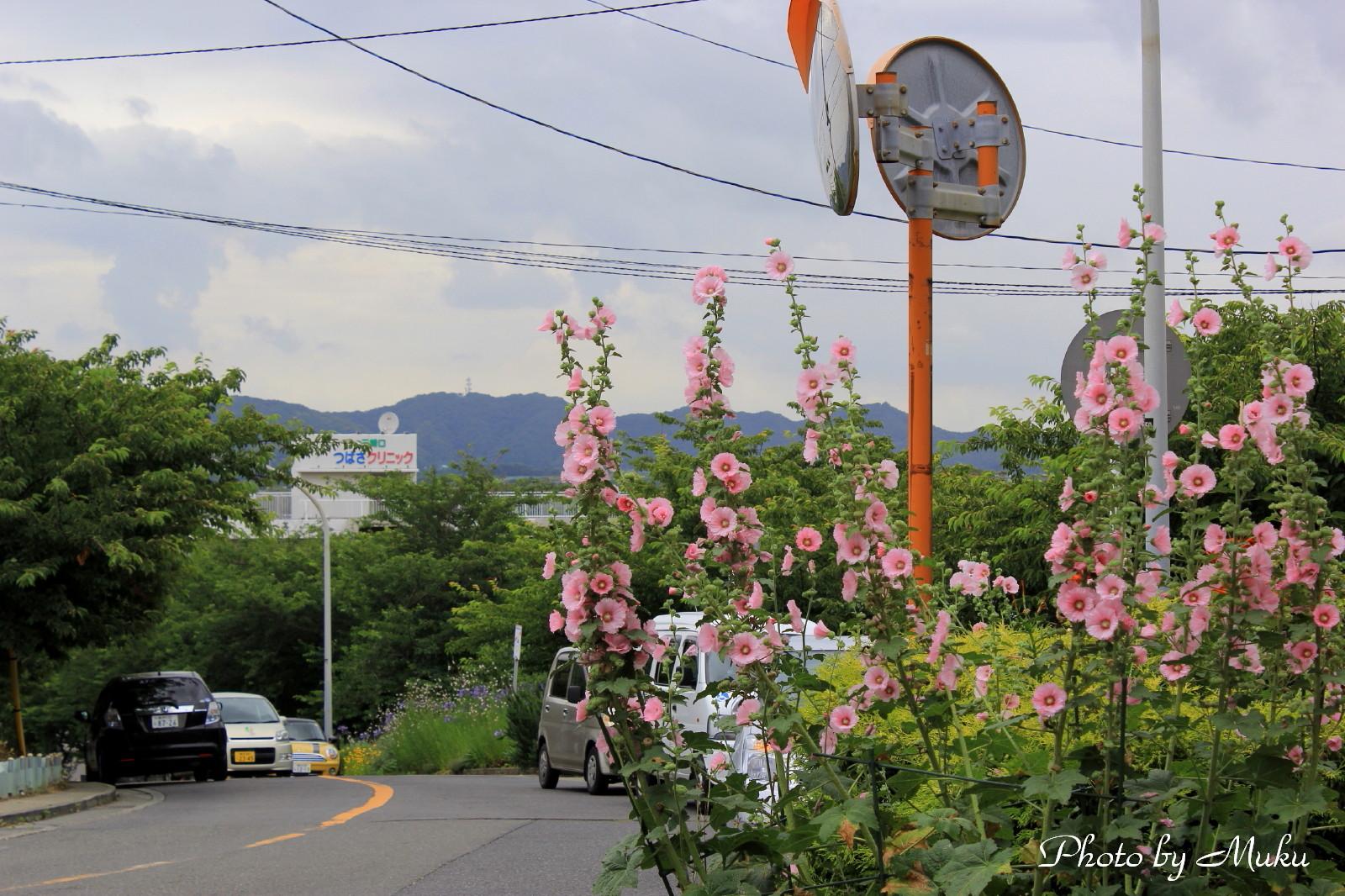 2014/06/27 立葵(三崎口:神奈川県三浦市)