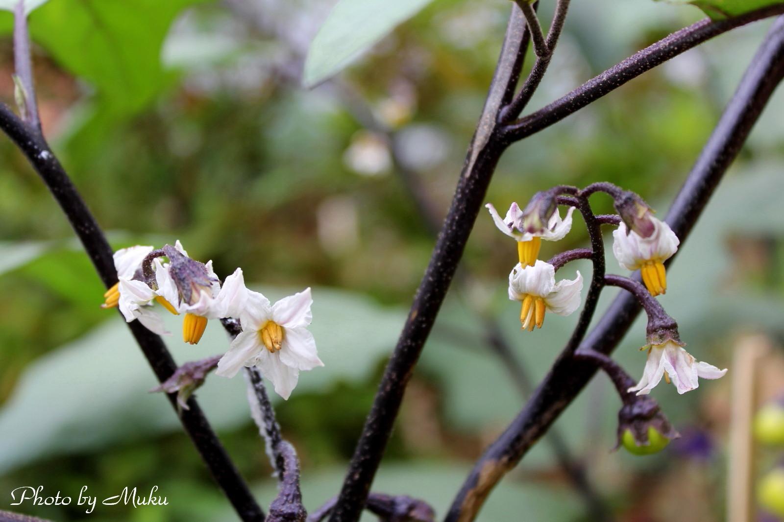 2014/06/27 白い茄子の花(妙音寺:神奈川県三浦市)
