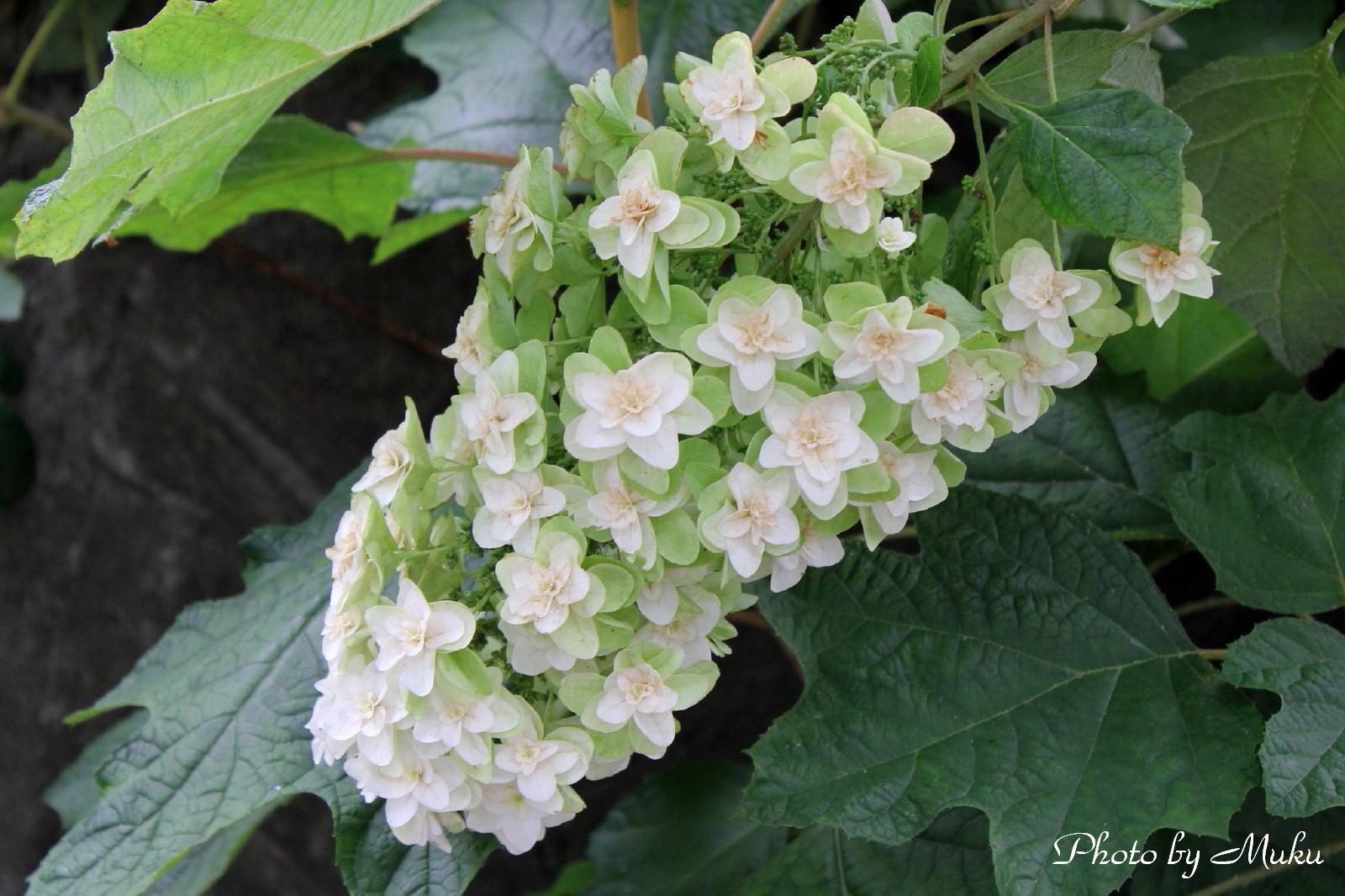 2014/06/27 カシワバアジサイ (三崎口:神奈川県三浦市)
