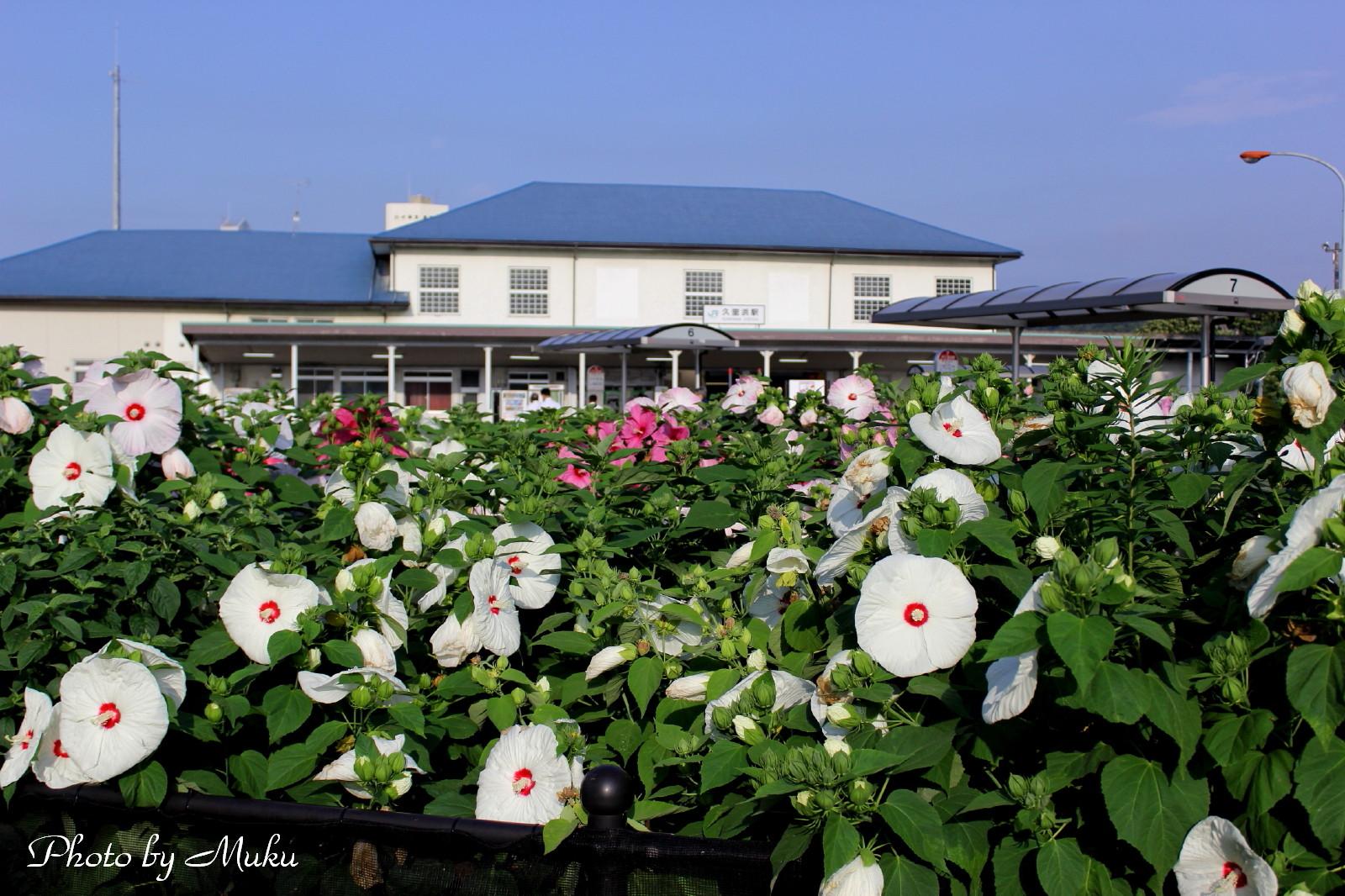 20132014/07/15 アメリカ芙蓉(JR久里浜駅:神奈川県横須賀市)