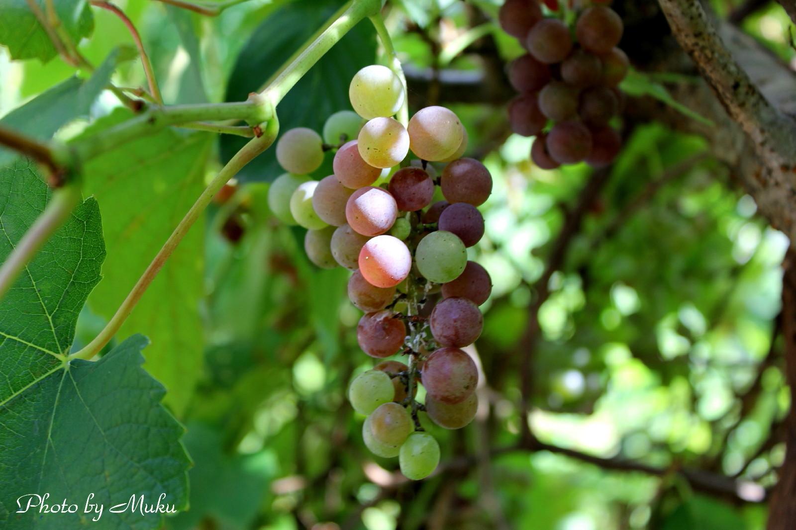 2014.8.15 色づいてきた葡萄 (散歩道:神奈川県横須賀市)