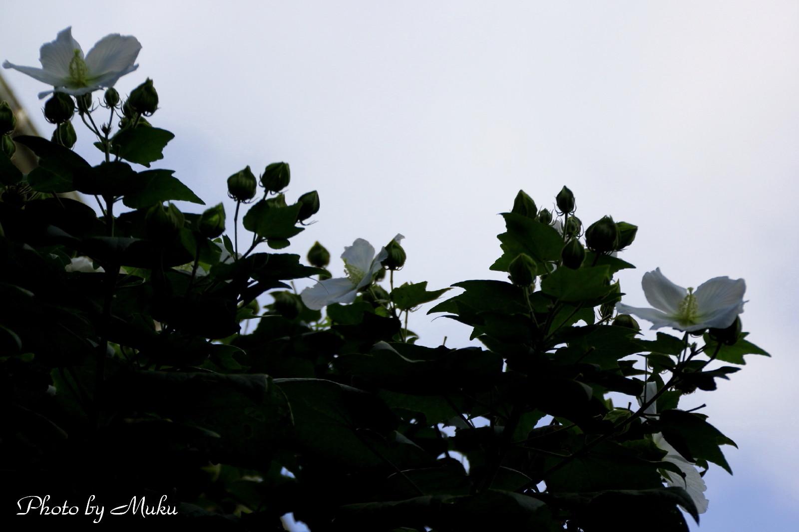 2014.8.17 芙蓉 (散歩道:神奈川県横須賀市)