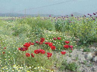 アナトリアの芥子畑 (アアトリア地方:トルコ 1999年)