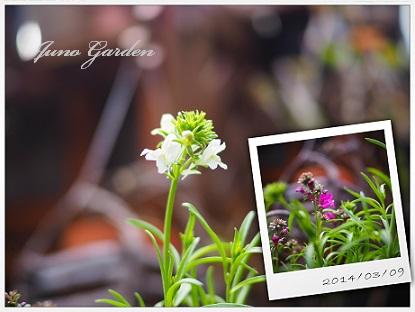 リナリア開花
