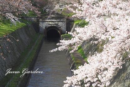 14疎水桜