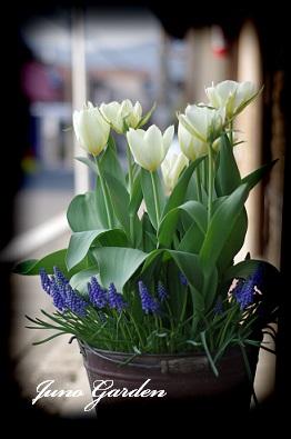 開花寄せ植えチューリップ