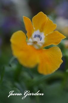 ネメシア黄色