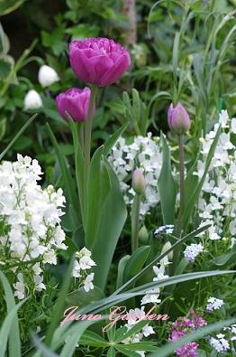 開花庭チューリップ
