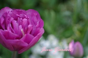 1開花庭チューリップ