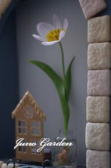 チューリップ開花水耕
