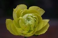 ラナキュラス141黄