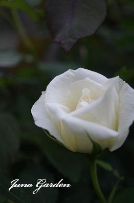 14ブライダルホワイト