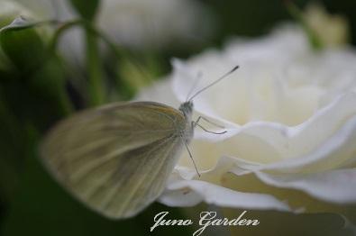 蝶々ブライダルホワイト