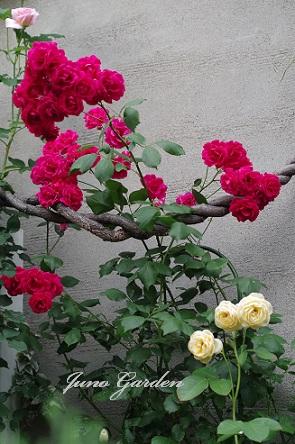 グラハムトーマス赤バラ