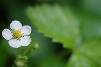 ワイルドストロベリ花14