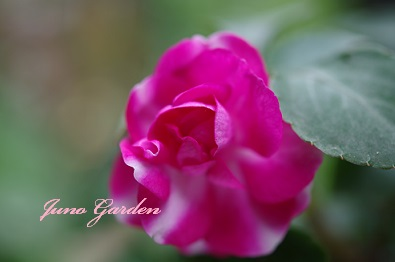 インパチェンスバラ咲き
