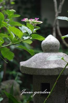 灯籠紫陽花