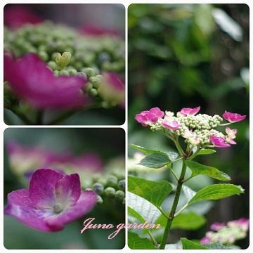 14中庭紫陽花