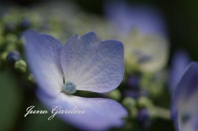141ブルー紫陽花