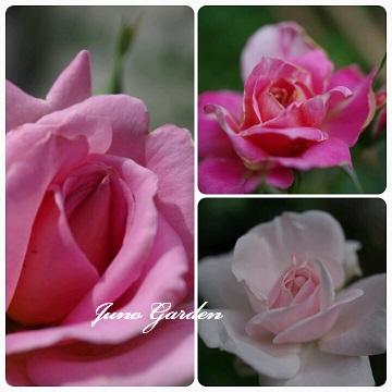 ピンクバラ3種
