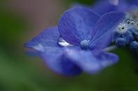 すいてき141紫陽花